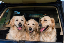 3 Golden Retrievers Smiling In The Back Of A 4x4 Car