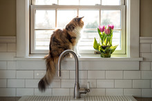 Calico Cat Sitting In A Sunny Window.