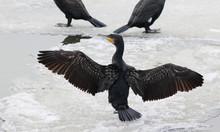 Cormorant On Ice, Drying Its W...
