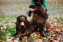 Two Newfoundland Dogs On Fall Day
