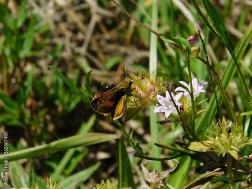 Fotografie, Obraz  Skipper moth on a flower