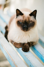 Beautiful Siamese Cat Baths In The Sun On Wooden Bench And Looks At The Camera