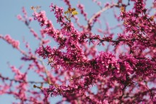 Closeup Photos Of Bright Pink Blossoming Branches By The Blue Sky