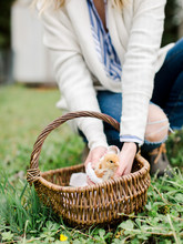 Woman Picking Up Baby Chicken In Basket
