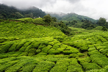 Tea Fields In The Cameron Highlands