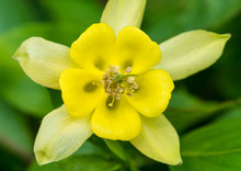 Yellow Aquilegia