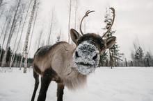 Reindeer Wide Angle Close-up