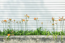 Orange Day Lilies Against The ...
