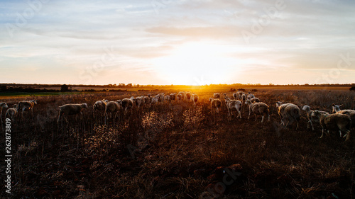 Fotografía Flock of sheep grazing together in pasture on sunset, rural Australia