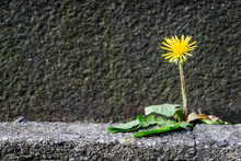 Single Dandelion Blossom In Fr...