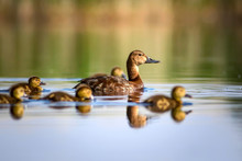 Cute Duck Family. Natural Back...