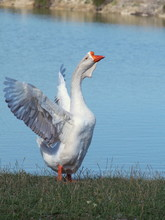 Big White Guinea Goose Against The Background Of The Lake