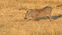 A Warthog Kneels To Feed In Masai Mara Game Reserve