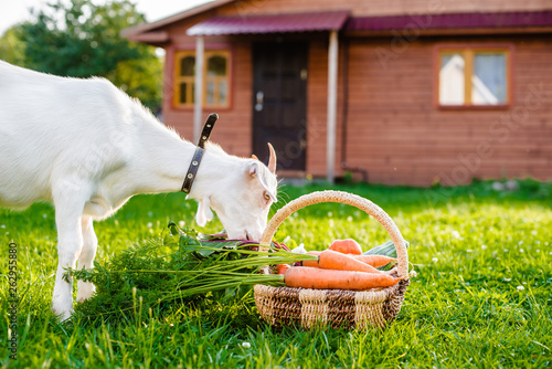 White goat chews farm vegetables background village house outdoors. The concept of healthy eating.