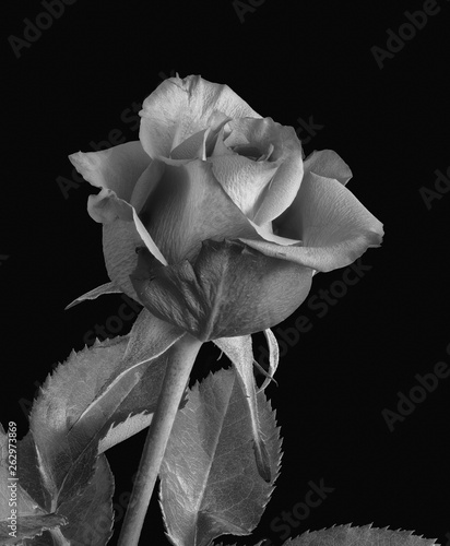 Fototapety, obrazy: Monochrome fine art still life bright macro of a single isolated rose blossom with leaves in vintage painting style on black background