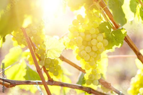 Foto Ripe juicy white grapes on vine in the garden