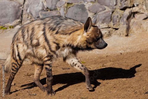 Poster Hyène The striped hyena walks along the sand against the background of the stonework, the woolly predatory beast is close-up,