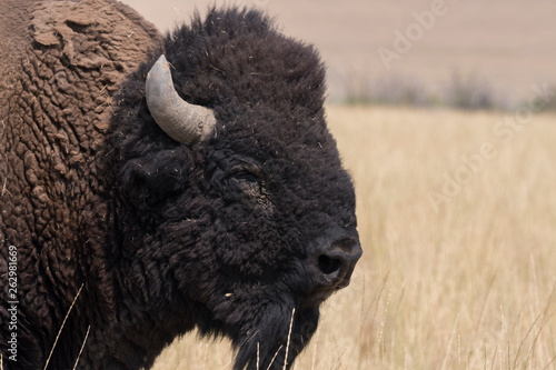 bison change the fur in Antelope island state park in Utah Fotobehang