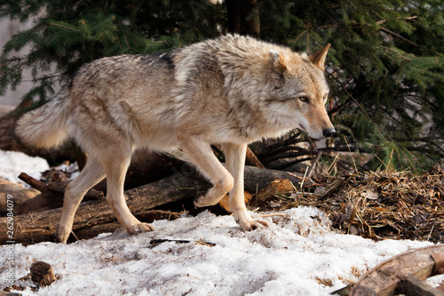Fototapeta  A wolf comes out from behind a tree lit by the sunPowerful predator gray wolf in the woods in early spring