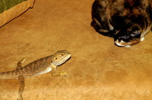 Surprised The Cat And The Little Bearded Agama