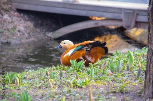 Fotografie, Obraz  Spring. Duck on the Bank of the stream. Red duck Ogar