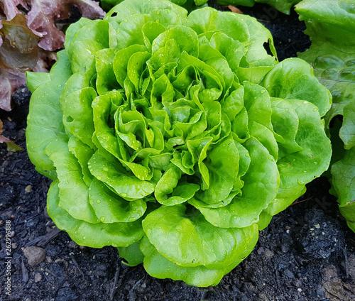 Foto Kopfsalat, Salat, Lactuca, sativa