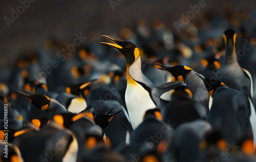 King penguin making way through a group of penguins