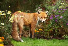 Red Fox Standing Near Flowers In The Garden In Summer