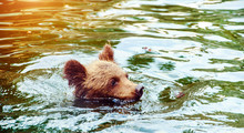 Brown Bear Cub Playing And Rolling In The Water