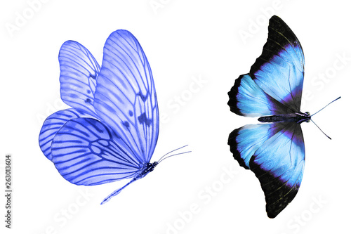 Fototapeta  tropical blue butterfly. isolated on white background