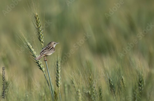 Fotografija Zitting cisticola in Wheat field