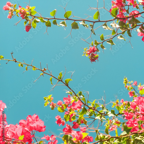 Poster Nature Coral blooming flowers and blue sky, feminine style background