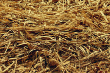 Dry Straw Background Of Reeds In The Sun