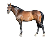 The Brown Trakehner Sport Hors...
