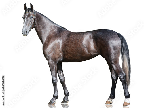 Photographie The beautiful gray sport horse  standing isolated on white background