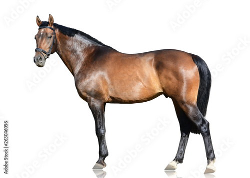 Foto op Canvas Paarden The brown trakehner sport horse standing isolated on white background. Side view