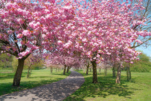 Blooming Pink Trees In The Spring Sunshine