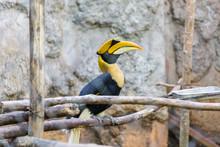 Yellow Billed Hornbill Great Hornbill In Cage, Great Indian Hornbill, Great Pied Hornbill, Hornbill, Focus On Eyes.
