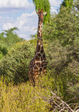Fototapeta Sawanna - Giraffe pauses for photo Giraffa camelopardalis reticulata lush greenerySamburu Reserve Kenya