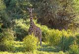 Fototapeta Sawanna - Serene Reticulated giraffe Giraffa camelopardalis reticulata in lush green treesSamburu Reserve Kenya
