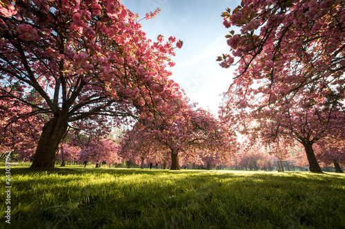 Poster Rose clair / pale Spring trees in paris