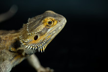 Bearded Dragon Side View Of Head