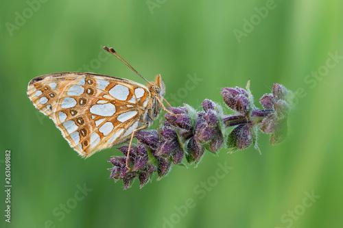 Photo Farfalla Latonia (Issoria lathonia)