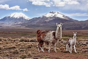 Biblia lama i jej matka patrzą w obiektyw z górą w tle na boliwijskim Altiplano