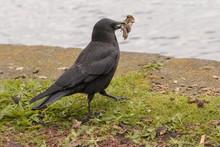 Closeup Of Feeding Crow