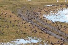 Canadian Geese Feeding In Field V3