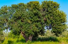 Majestic Carob Tree In The Pug...