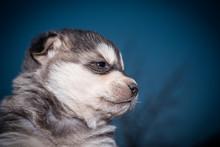 Portrait Of A Husky Puppy Clos...