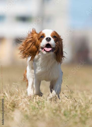 Fotografia spaniel dog running fast outdoors