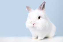 A Fluffy White Jersey Wooly Rabbit